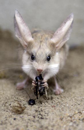 long-eared-jerboa.jpg