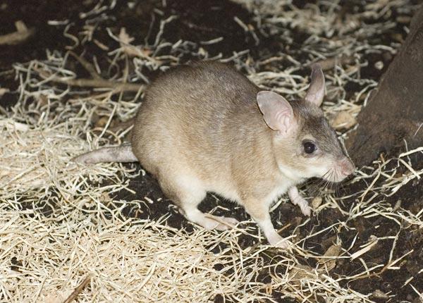 malagasy-giant-jumping-rat.jpg